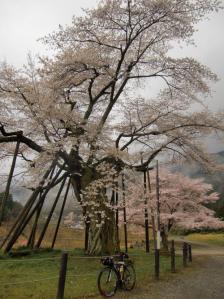 ☆千年桜2011