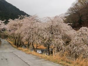 相又?の桜群