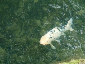 五色沼 鯉