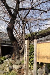 ☆河津桜の原木