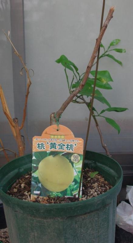 140907-黄金桃
