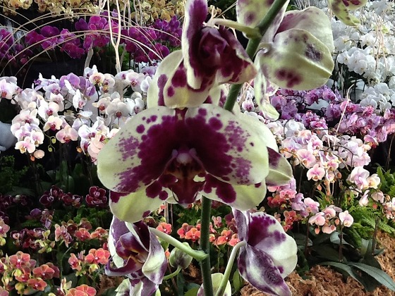 Intl Orchid Festival Feb20th 2013x16