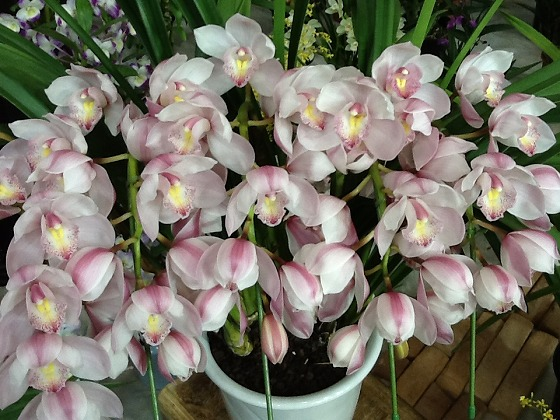 Intl Orchid Festival Feb20th 2013x17