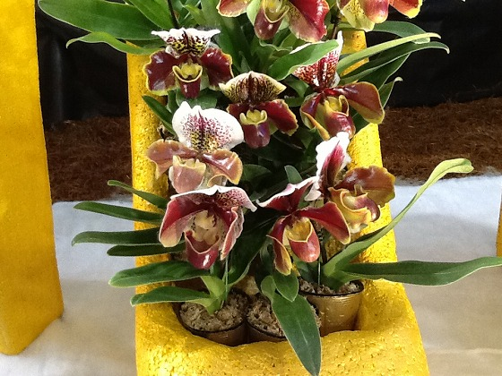 Paphiopedilum at the Festival Feb 20th 2013 x6