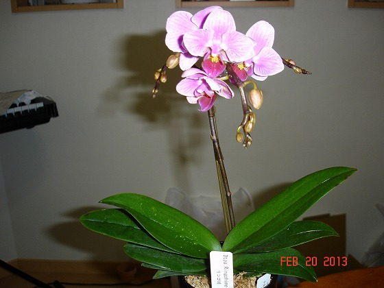 Orchid Pink Feb 22nd 2013x1