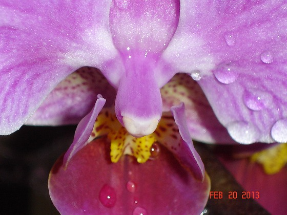 Orchid Pink Feb 22nd 2013x2