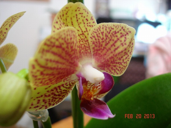 Orchid Yellow Feb 22nd 2013x2