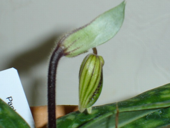 Paphiopedilum Mar 6th 2013x1