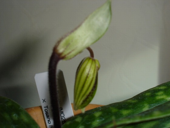 Paphiopedilum Mar 6th 2013x3