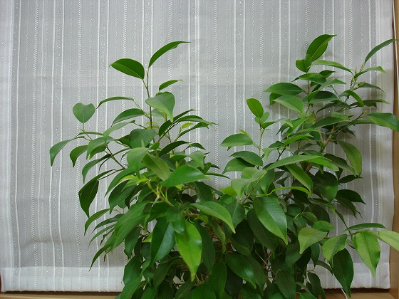 Ficus benjamina top Mar 22nd 2013