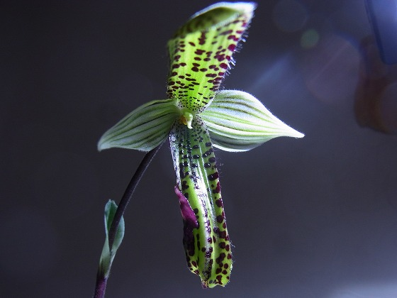 Paphiopedilum Apr 8th 2013 x 1