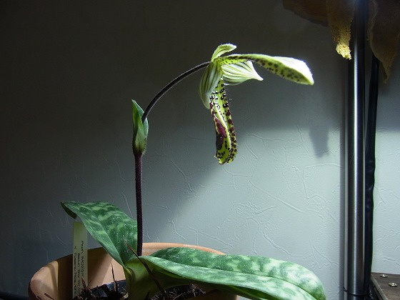 Paphiopedilum Apr 8th 2013 x 5