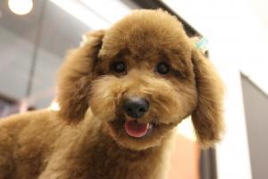 トイプードル子犬2