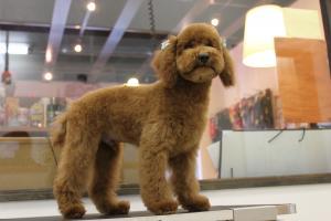 トイプードル子犬3