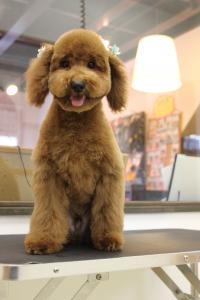トイプードル子犬4