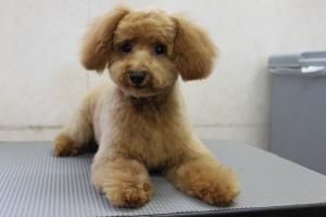 アポロ子犬 メス6