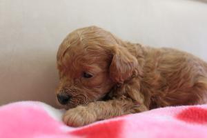 トイプードル子犬1