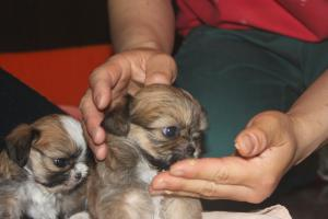 シーズー×チワワの子犬 離乳食1
