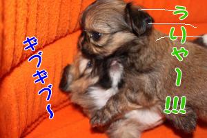 子犬4コマ オス2