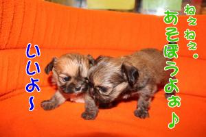 子犬4コマ オス1