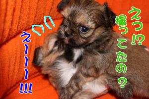 子犬4コマ オス3
