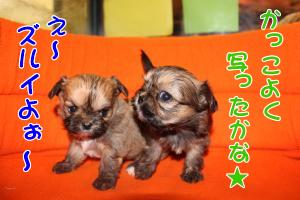 子犬4コマ オス4