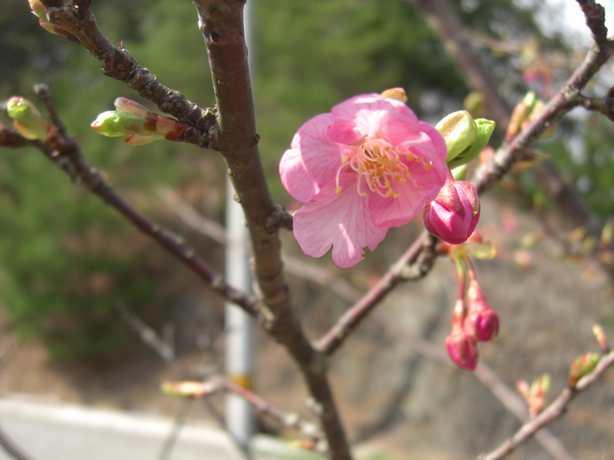 2012.3.10河津桜1番花
