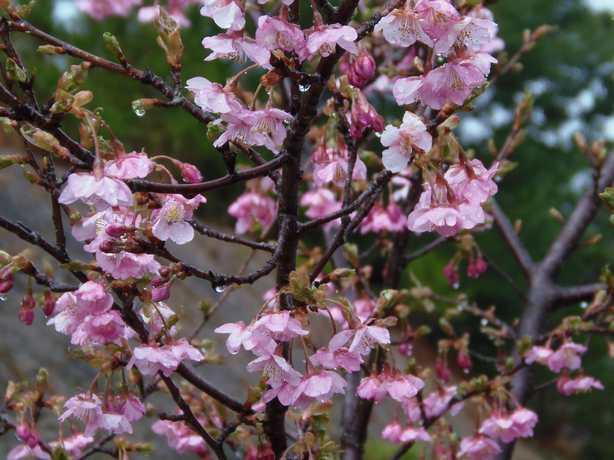2012.3.17満開の河津桜