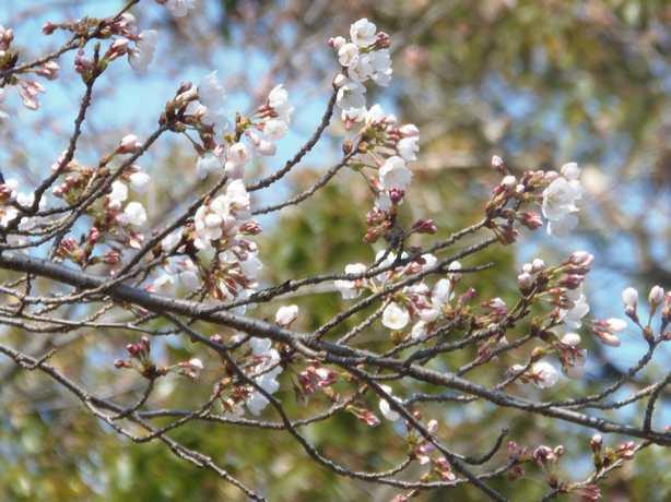 2012.3.27森の国でも桜の開花