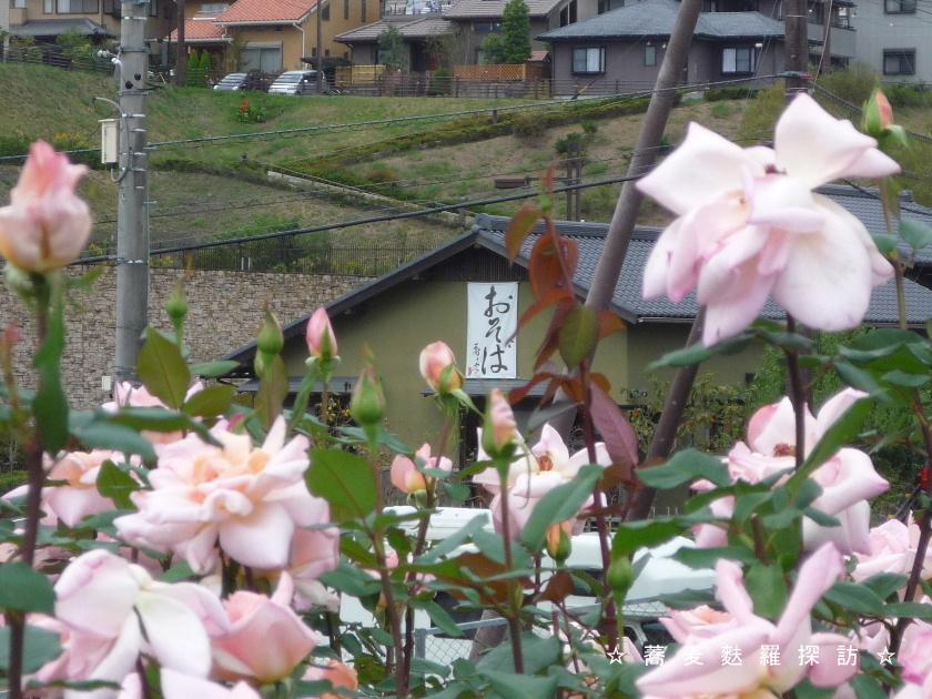 3.島田市 蕎ノ字  (薔薇越しにお店2)