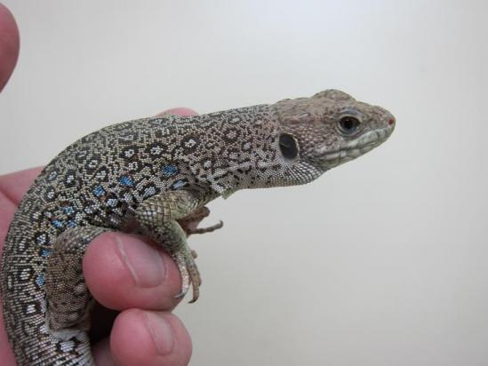 ホウセキカナヘビ1