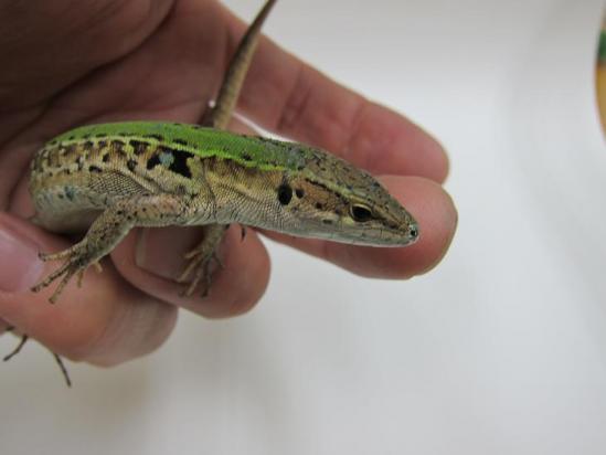 シクラカナヘビ1