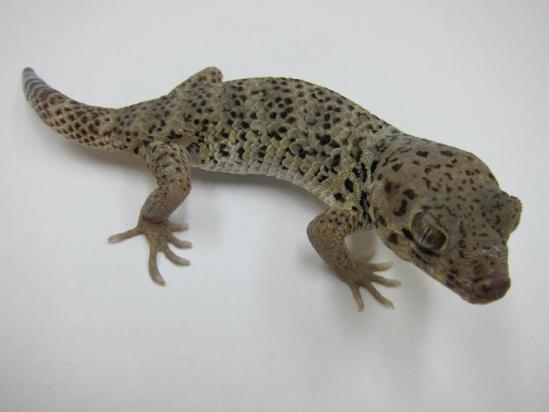 ロボロ♀1
