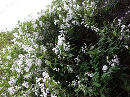 1-1 卯の花