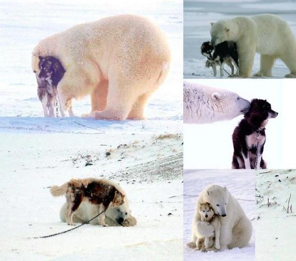 クマ×オオカミ