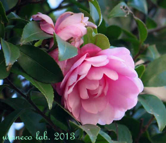 1月29日山茶花桃