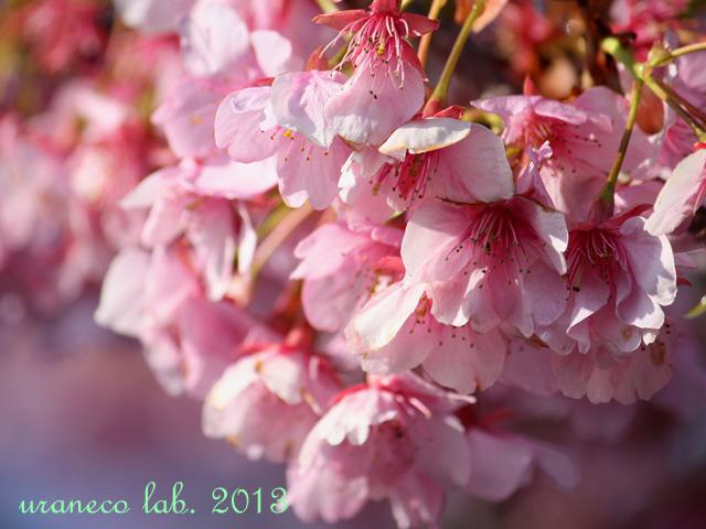 2月18日河津桜過去
