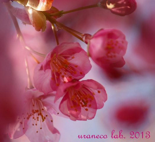 2月18日河津桜過去2