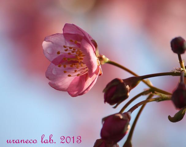 2月18日河津桜過去3