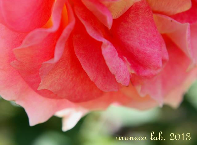 2月21日薔薇