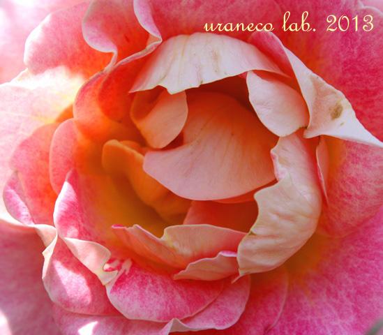 2月21日薔薇の中心部