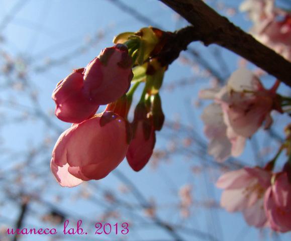 3月2日寒桜5