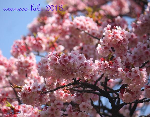 3月9日寒桜