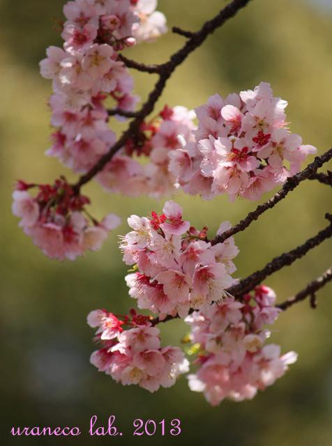3月9日寒桜2