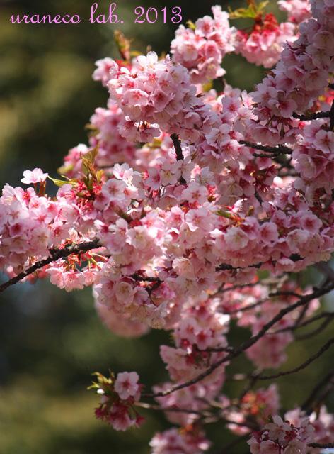 3月9日寒桜3