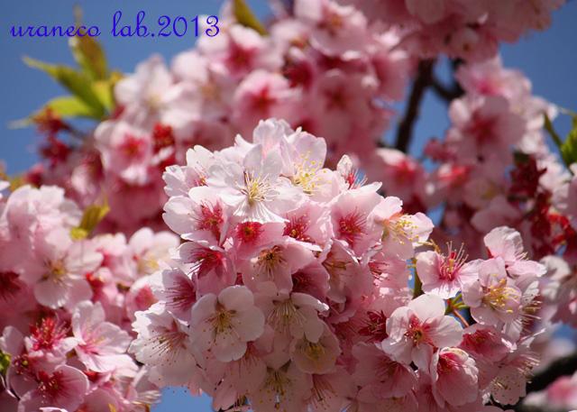 3月9日寒桜5