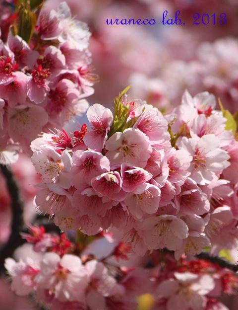 3月9日寒桜7