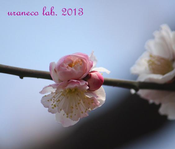 3月13日梅源平咲き