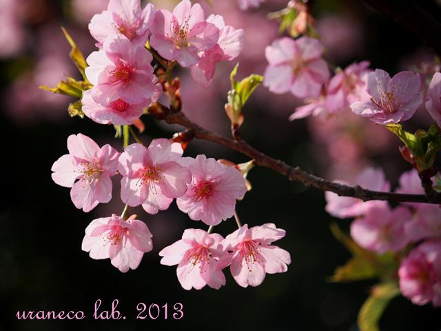 3月13日河津桜