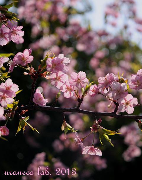 3月13日河津桜2